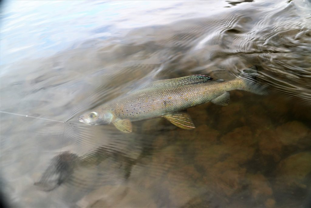 Colorful Grayling
